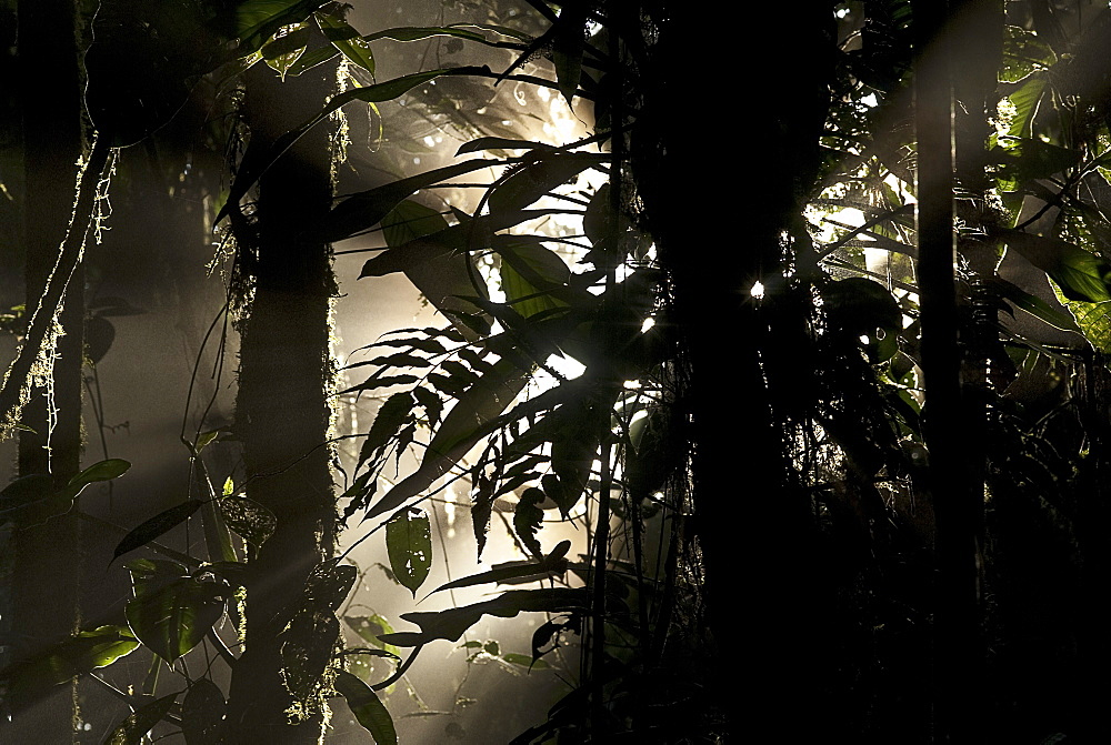 Cloud forest, Ecuador, South America - 978-455