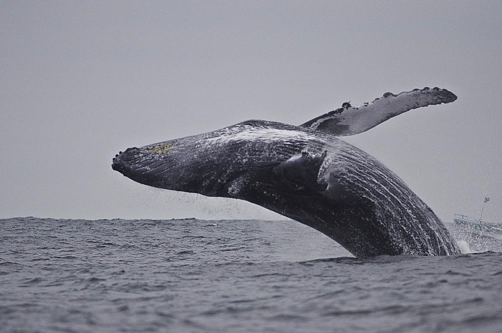 Breaching humpback whale (Megaptera novaeangliae), Ecuador, South America - 978-456
