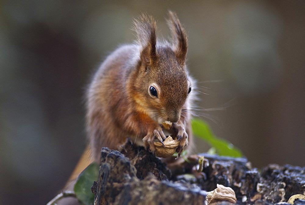 Red squirrel (Sciurus vulgaris) eating nuts in a wood, United Kingdom, Europe - 978-459