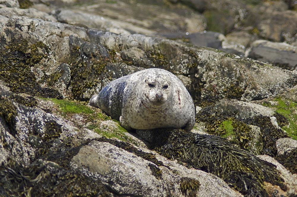 Seal on rocks, United Kingdom, Europe - 978-461