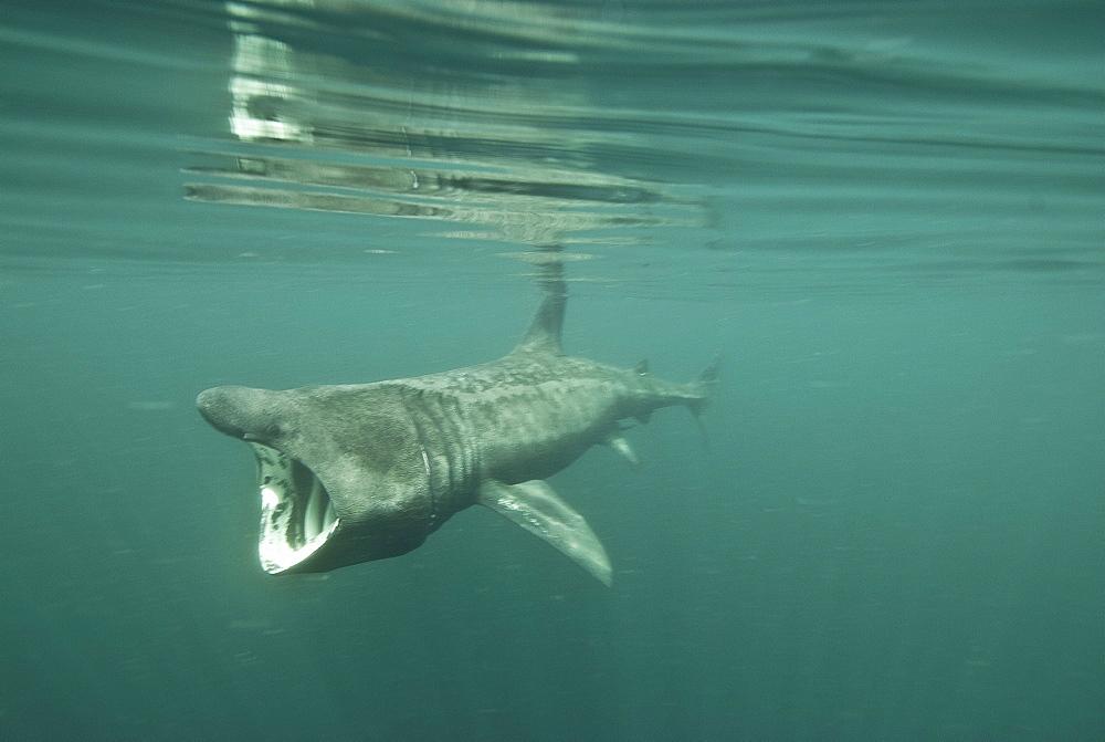 Basking shark (Cetorhinus maximus) feeding on plankton, Inner Hebrides, Scotland, United Kingdom, Europe - 978-462