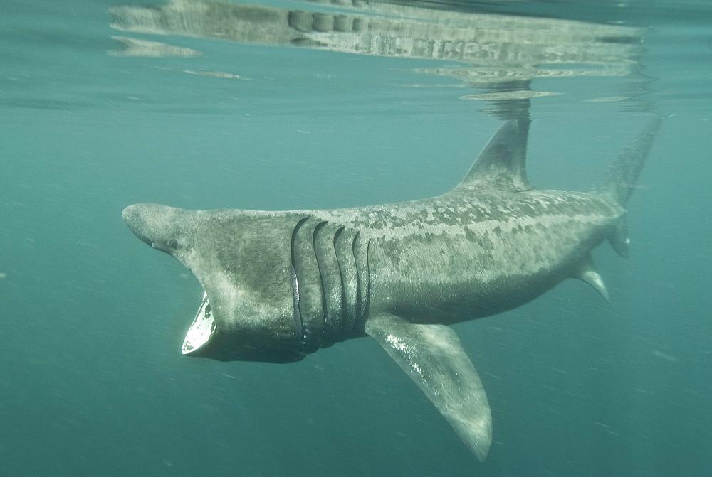 Basking shark (Cetorhinus maximus) feeding on plankton, Hebrides, Scotland, United Kingdom, Europe - 978-463