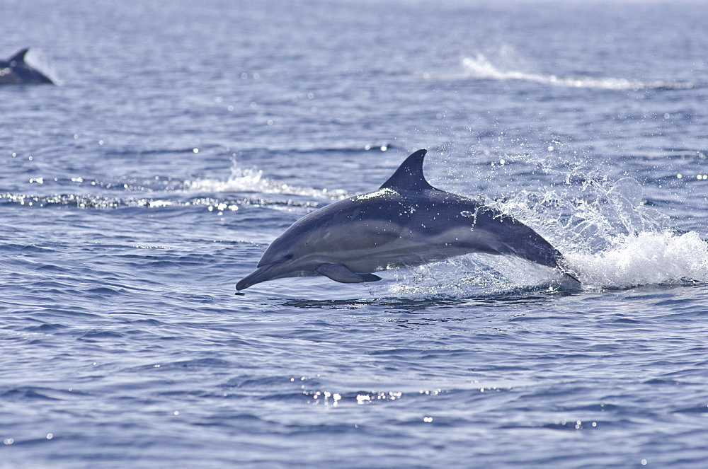 Common dolphin (Delphinus delphis), Sound of Mull, Inner Hebrides, Scotland, United Kingdom, Europe