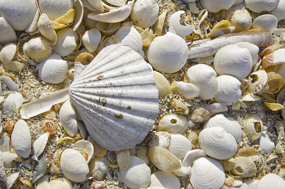 Sea shells, Hebrides, Scotland, United Kingdom, Europe - 978-472
