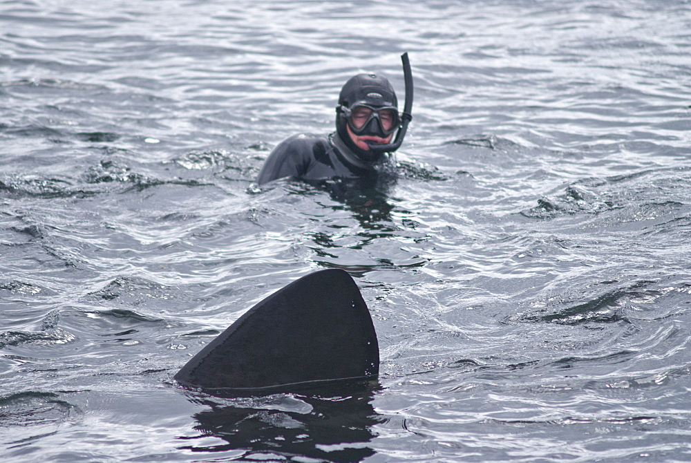 Diver approached by basking shark (Cetorhinus maximus), Hebrides, Scotland, United Kingdom, Europe