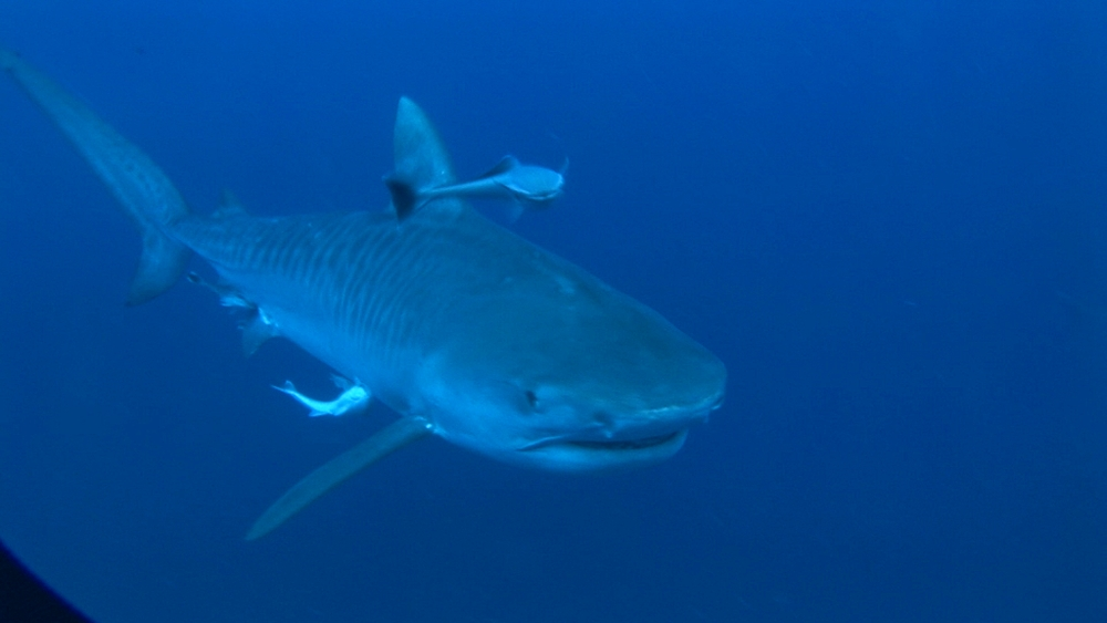 Tiger shark (Galeocerdo cuvier) bumps into camera. Aliwal Shoal, South Africa - 978-528