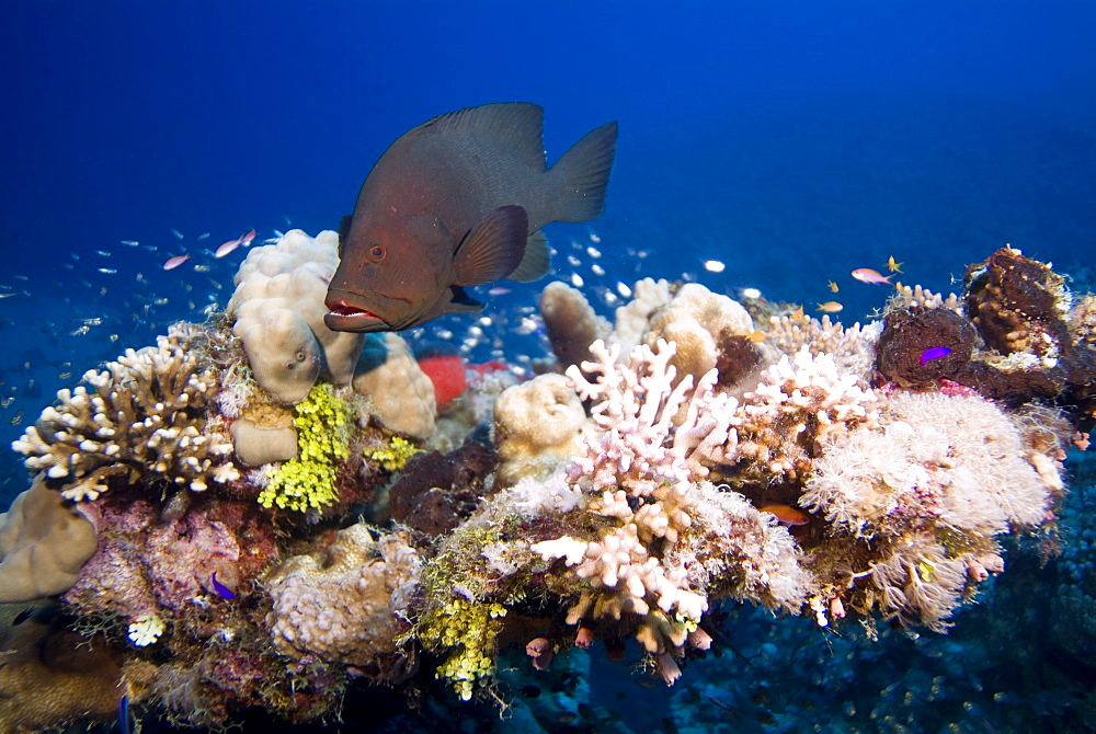 Redmouth Grouper (Aethaloperca rogaa). Red Sea.
