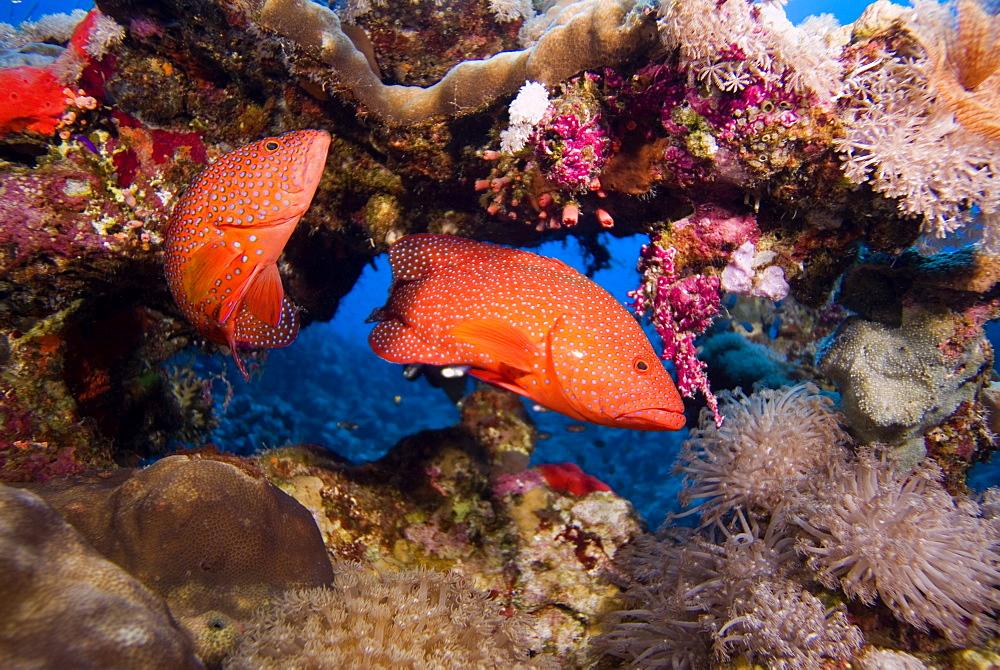 Pair of Coral Grouper (Cephalopholis miniata). Red Sea.