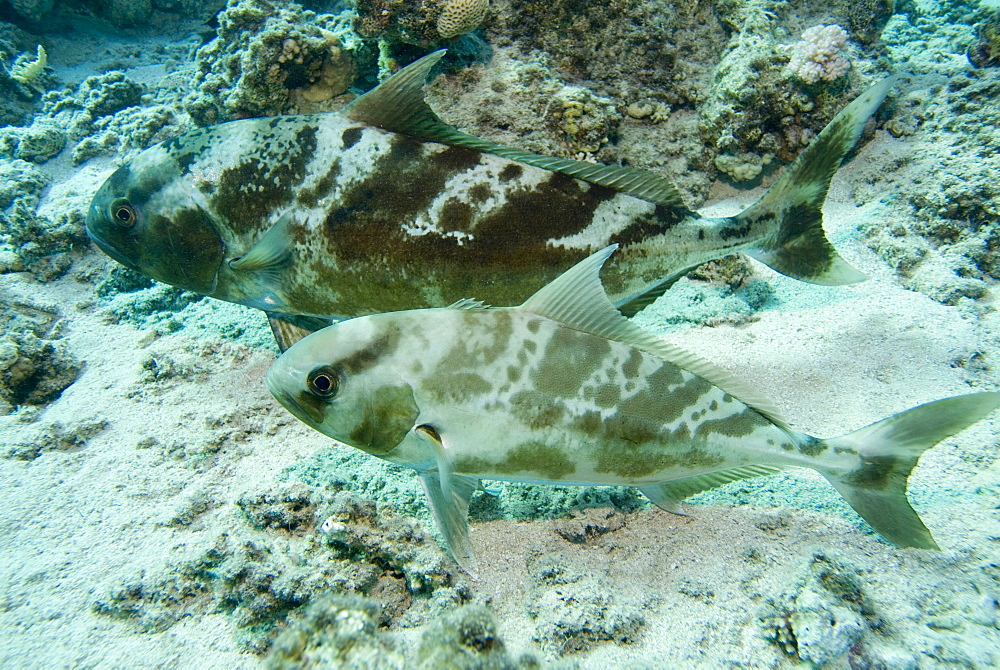 Blackbanded Jack (Seriolina nigrofasciata) the same individuals as in 8350, showing their ability to blend skin colour changes for camouflage purpose. Red Sea.