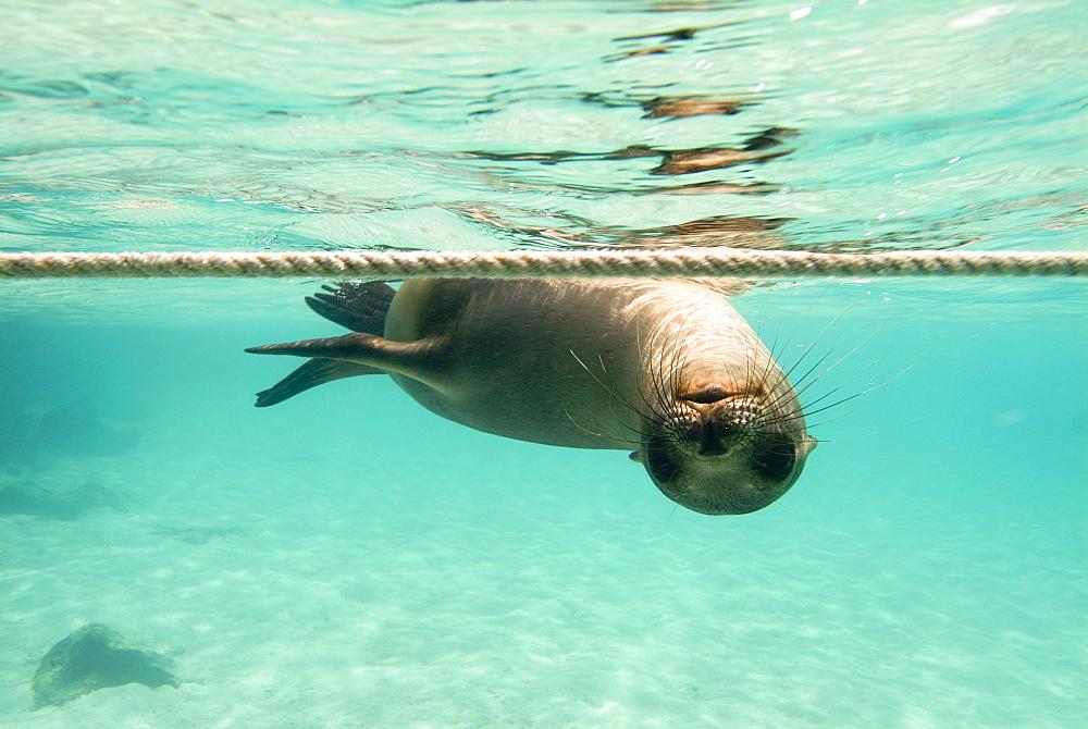 Galapagos sea lion - Zalophus californianus wollebacki.  Galapagos, Pacific Ocean