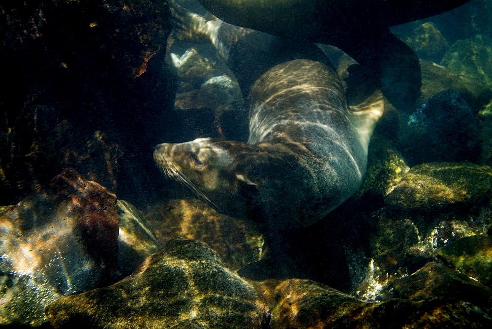 Galapagos sea lion - Zalophus californianus wollebacki.  Galapagos, Pacific Ocean - 978-8