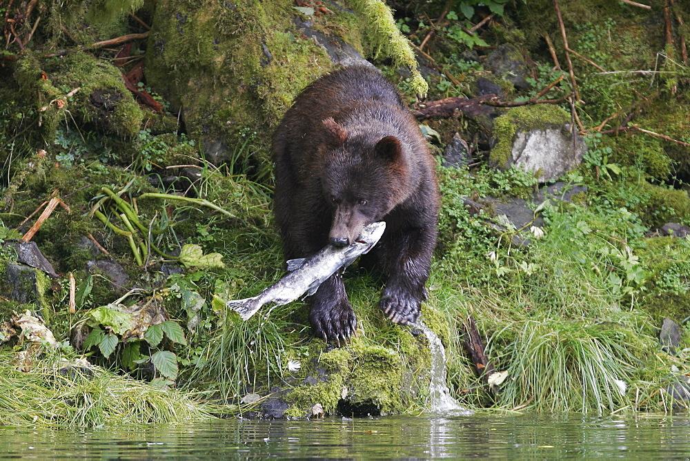 mulata bear