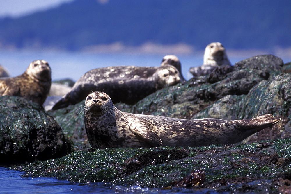 Harbor Seals (Phoca vitulina) hauled out in the San Juan Islands, Washington State, USA.