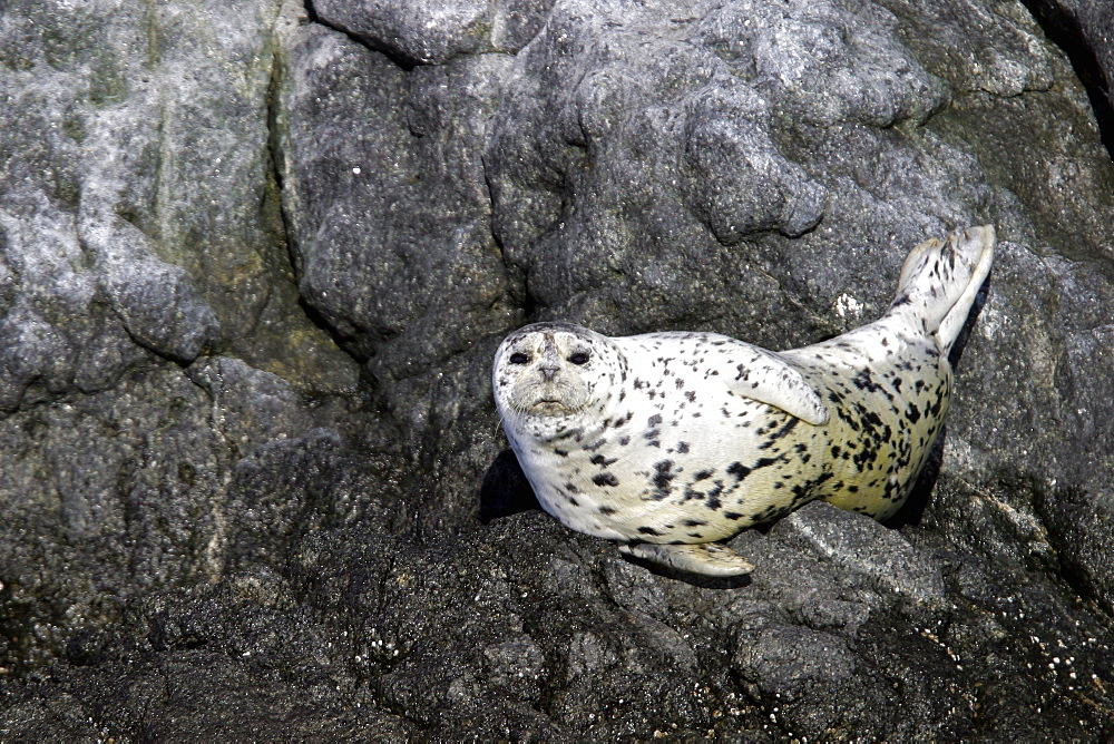 Adult Harbor Seal (Phoca vitulina) hauled out on shore in the Queen Charlotte Islands, British Columbia, Canada. Pacific Ocean.