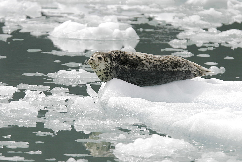 Harbor Seal (Phoca vitulina) mother on ice calved from the Sawyer Glaciers in Tracy arm, Southeast Alaska, USA. Pacific Ocean.