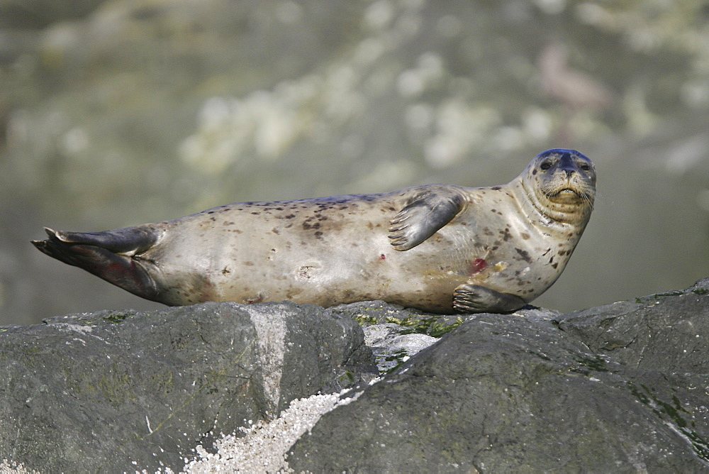Adult harbor seal (Phoca vitulina) hauled out on a rock at low tide in Chatham Strait, Southeast Alaska, USA.