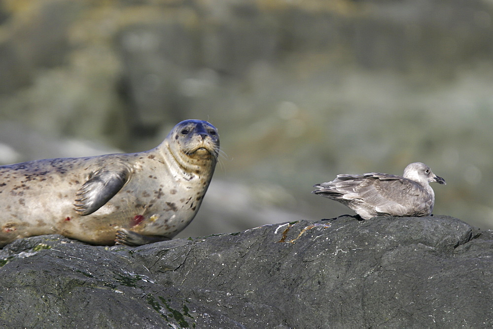 Adult harbor seal (Phoca vitulina) hauled out on a rock near juvenile gull at low tide in Chatham Strait, Southeast Alaska, USA.