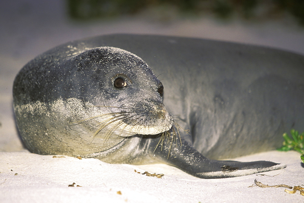A young Hawaiian Monk Seal (Monachus schauinslandi) hauled out on Midway Atoll in the Northwest Hawaiian Islands, USA. Pacific Ocean.