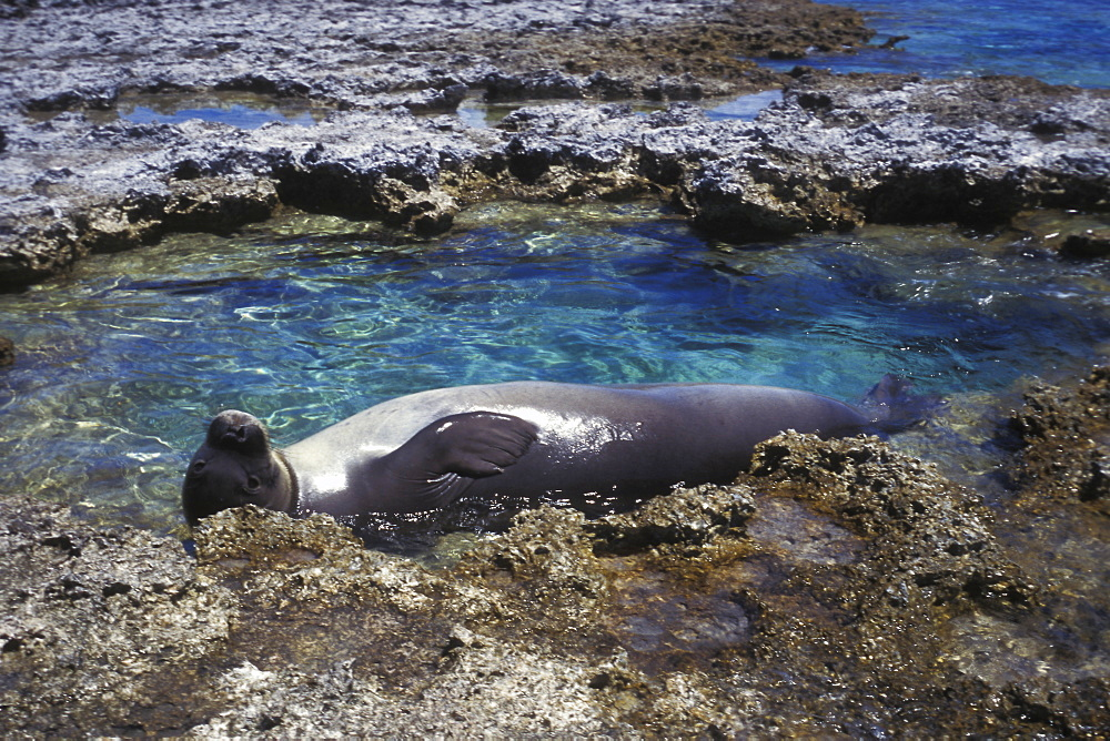 Adult Hawaiian Monk Seal (Monachus schauinslandi) resting in a tidepool on the fringing reef at Midway atoll in the Northwestern Hawaiian Islands. Pacific Ocean.