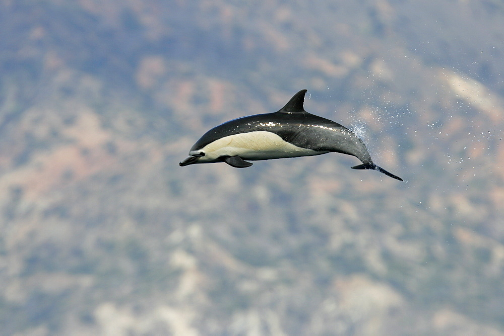Short-beaked common dolphin (Delphinus delphis) leaping off the north shore of Catalina Island, Southern California, USA. Pacific Ocean.