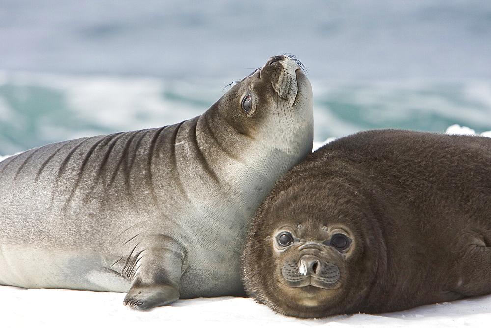 Newborn southern elephant seal (Mirounga leonina) on the beach at President Head on Snow Island in the South Shetland Island Group, Antarctica