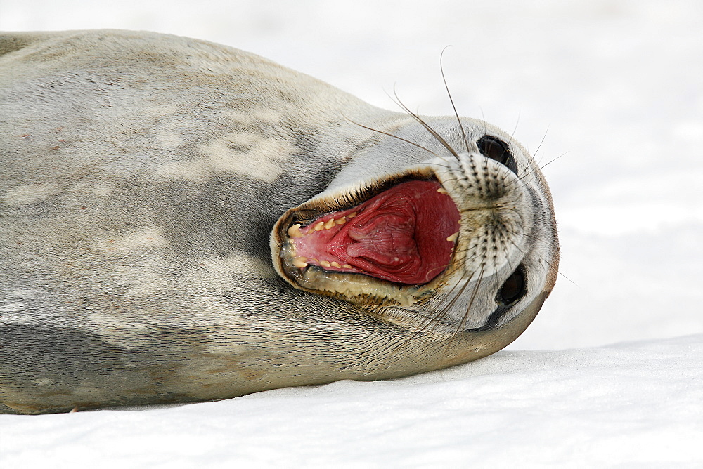 An adult Weddell seal (Leptonychotes weddellii) hauled out with mouth wide open (notice the cleft in the end of the tongue) on ice on Petermann Island near the Antarctic Peninsula.