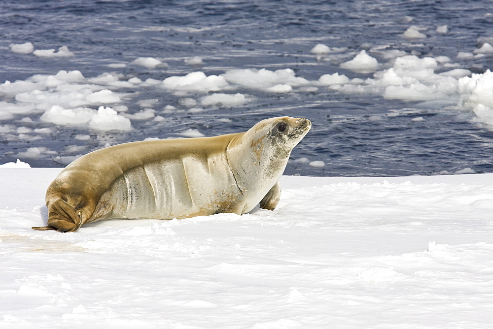 Adult crabeater seal (Lobodon carcinophaga) hauled out on an ice floe below the Antarctic circle on the western side of the Antarctic Peninsula. This is the most abundant pinniped in the world, with current population estimates ranging from 25 to 50 million animals.