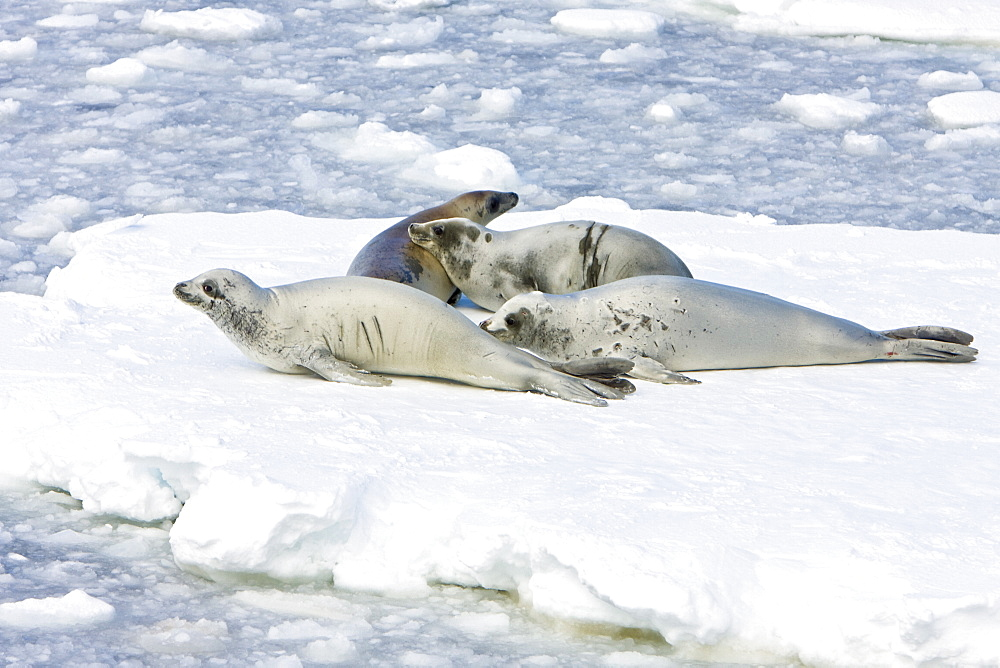 Adult crabeater seals (Lobodon carcinophaga) hauled out on an ice floe below the Antarctic circle on the western side of the Antarctic Peninsula. This is the most abundant pinniped in the world, with current population estimates ranging from 25 to 50 million animals.