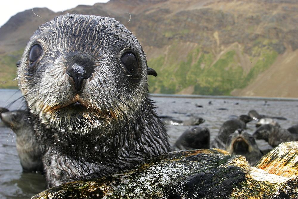 Antarctic Fur Seal (Arctocephalus gazella) on the island of South Georgia, southern Atlantic Ocean.