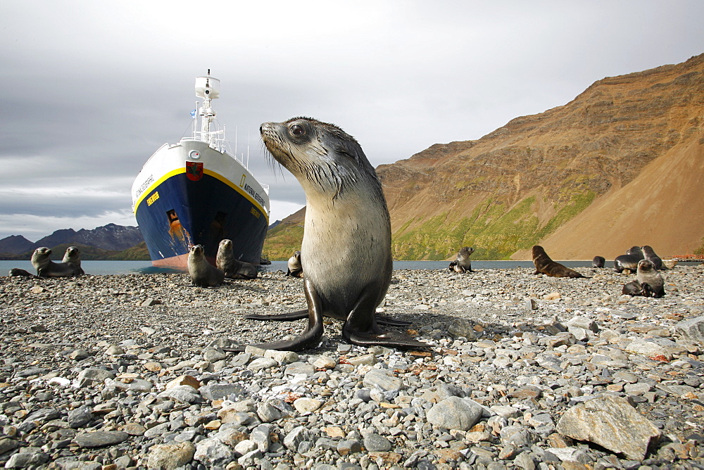 Antarctic fur seal (Arctocephalus gazella) pups in front of the National Geographic Endeavour at the abandonded whaling station at Stromness on the island of South Georgia, southern Atlantic Ocean.
