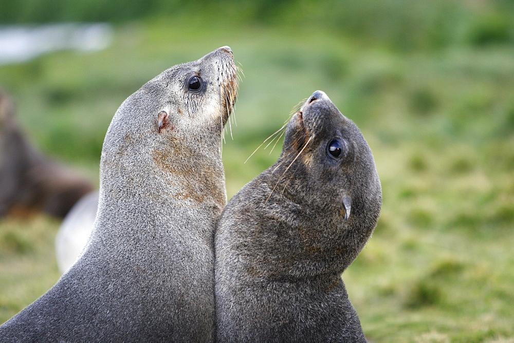 Antarctic fur seal (Arctocephalus gazella) pups mock-fighting at the abandonded whaling station at Grytviken on the island of South Georgia, southern Atlantic Ocean.