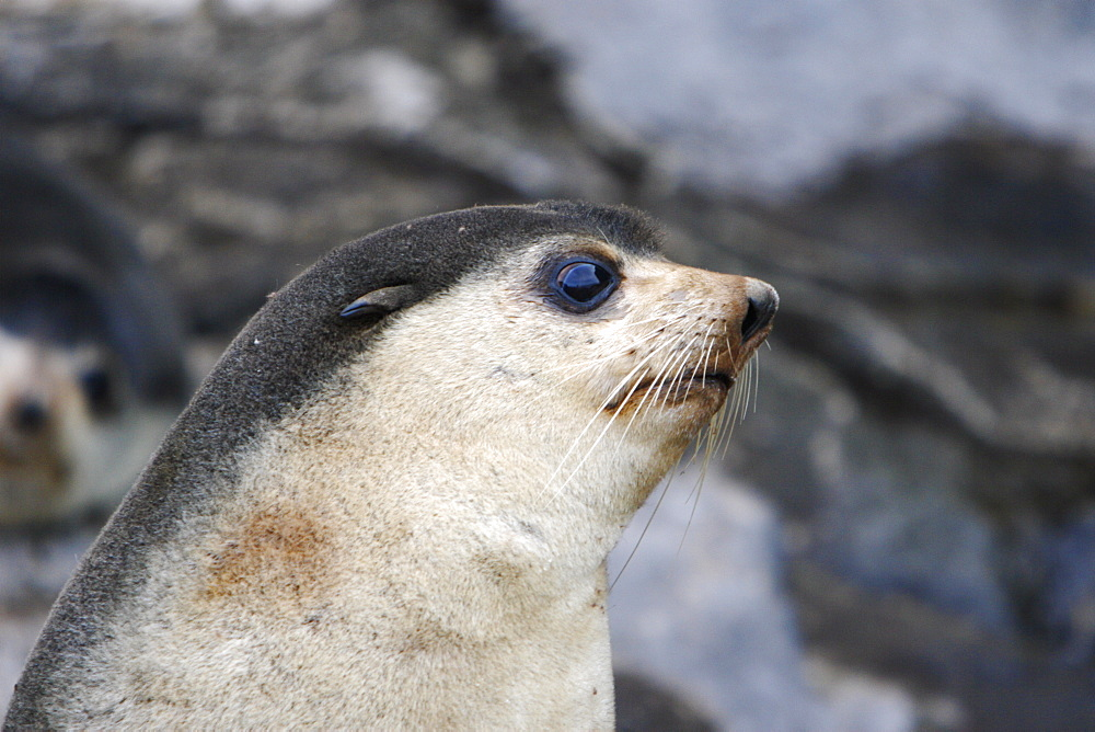 Sub-Antarctic fur seal (Arctocephalus tropicalis) on Nightingale Island in the Tristan da Cunha Island Group in the southern Atlantic Ocean. Note the lighter face and pelage than that of the Antarctic fur seal.