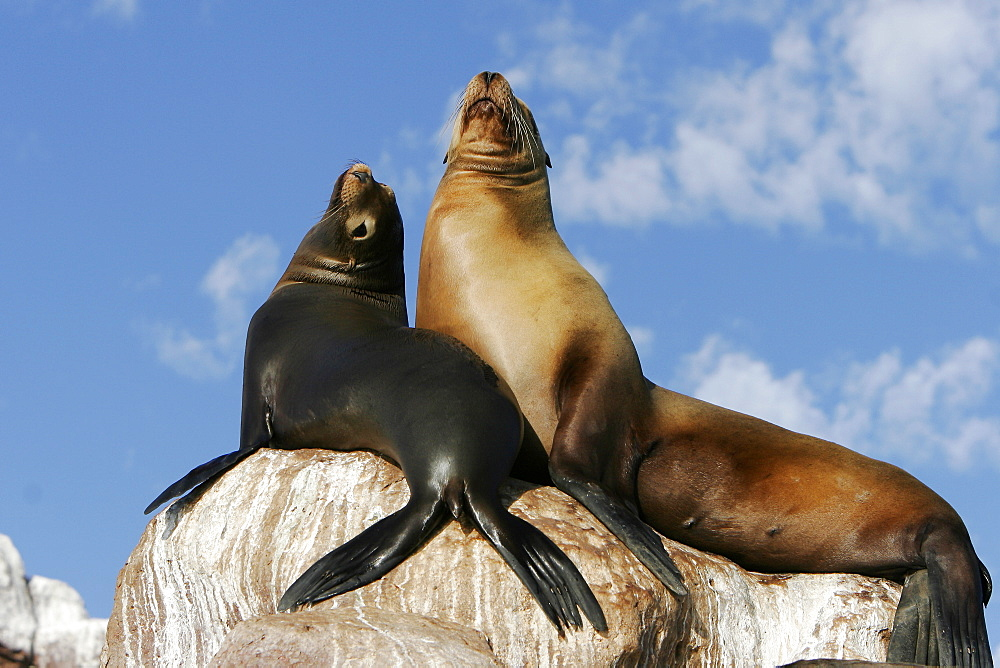 California Sea Lion (Zalophus californianus) mother and pup hauled out at Los Islotes in the Gulf of California (Sea of Cortez), Mexico.