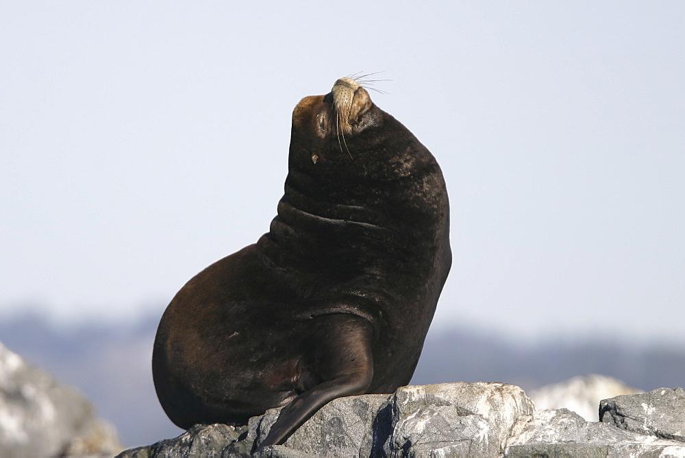 Adult bull California Sea Lion (Zalophus californianus) hauled out (note the well developed sagital crest denoting a male) at Race Rocks, British Columbia, Canada.