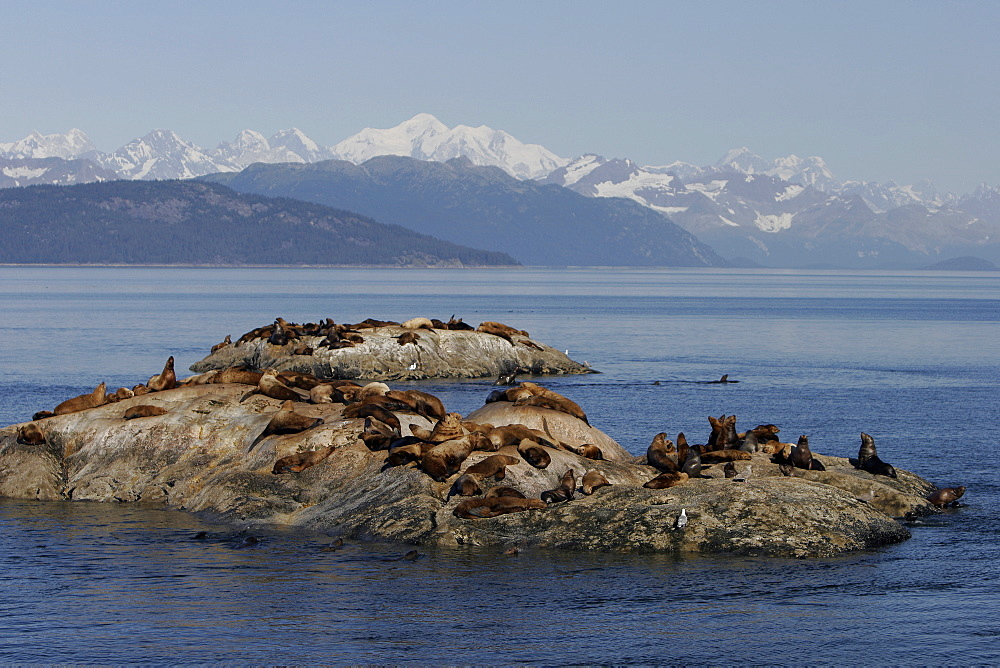 Steller (Northern) Sea Lions (Eumetopias jubatus) hauled out on small reef in Glacier Bay National Park, Southeast Alaska, USA.