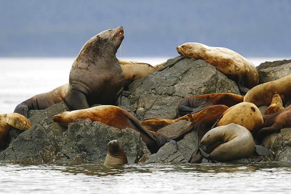 All ages and both sexes of northern (Steller) sea lions (Eumetopias jubatus) hauled out on the Brothers Island Group in Frederick Sound, Southeast Alaska, USA