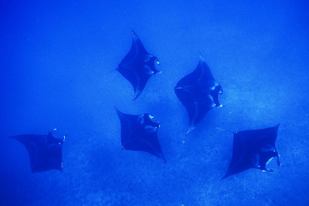 Adult Manta Ray (Manta birostris) in possible mating formation off the coast of Maui, Hawaii, USA.