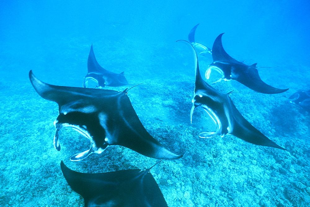 Pacific manta rays over reef in possible mating behavior?  West Maui, Hawaii, USA.