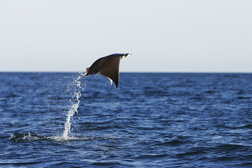 Adult Spinetail Mobula (Mobula japanica) leaping out of the water in the upper Gulf of California (Sea of Cortez), Mexico. Note the long whip-like tail (longer than the length of the body) with sting at the base - a unique field diagnostic to this species.