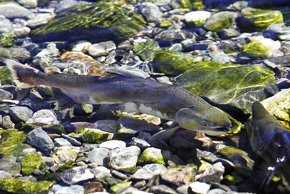 """Adult male and female pink salmon (Oncorhynchus gorbuscha - nicknamed the """"Humpbacked salmon"""") spawning in a stream in southeast Alaska, USA."""
