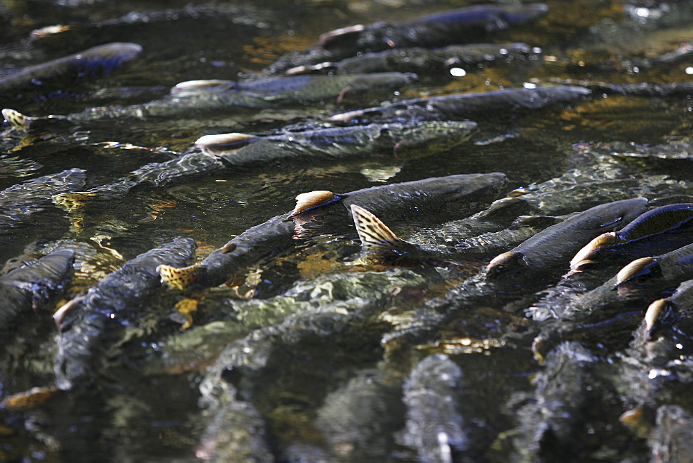 Adult pink salmon (Oncorhynchus gorbuscha) spawning in a stream in southeast Alaska, USA.