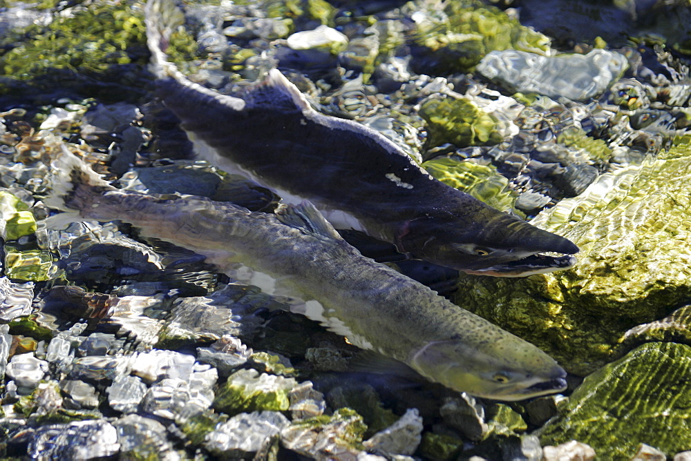 """Adult pink salmon (Oncorhynchus gorbuscha) pair spawning in a stream in southeast Alaska, USA. This species is also sometimes called """"humpy"""" or """"humpbacked"""" salmon due to the huge hump that develops on the back during spawning."""