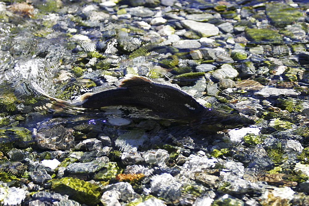 """Adult male pink salmon (Oncorhynchus gorbuscha) spawning in a stream in southeast Alaska, USA. This species is also sometimes called """"humpy"""" or """"humpbacked"""" salmon due to the huge hump that develops on the back during spawning."""