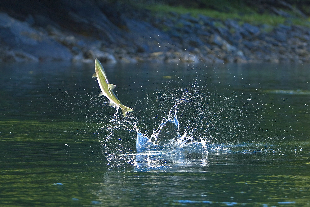 """Spawning pink salmon (Oncorhynchus gorbuscha) leaping in Red Bluff Bay, Southeast Alaska, USA. Pacific Ocean. Salmon leap perhaps to loosen their eggs and milt before spawning, or possibly to prepare for the upstream struggle during spawning. This salmon is also sometimes called the humpback or """"humpie"""" due to the change in its form during spawning."""