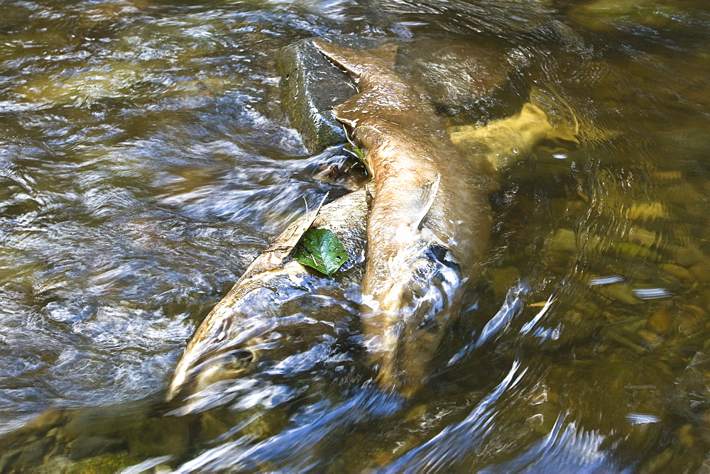 """Dead and dying pink salmon (Oncorhynchus gorbuscha) gathering after the spawn just outside of Sitka, Southeast Alaska, USA. Pacific Ocean. This salmon is also sometimes called the humpback or """"humpie"""" due to the change in its form during spawning."""