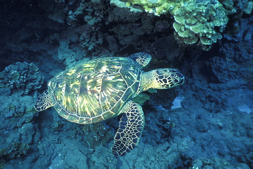 Adult female Green Sea Turtle (Chelonia mydas) underwater on a reef at Olowalu, Maui, Hawaii.