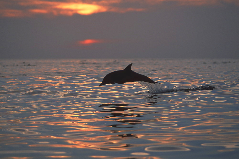 Long-beaked Common Dolphin (Delphinus capensis) at sunset in Northern Gulf of California, Mexico(Restricted Resolution - pls contact us)