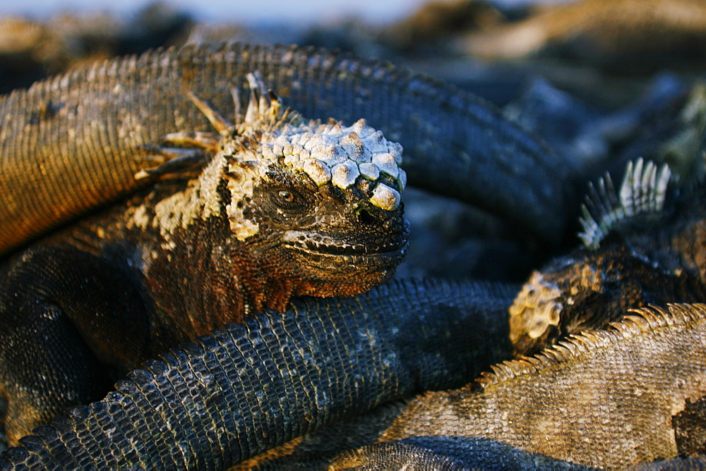 The endemic marine iguana (Amblyrhynchus cristatus) head detail in the Galapagos Island Group, Ecuador