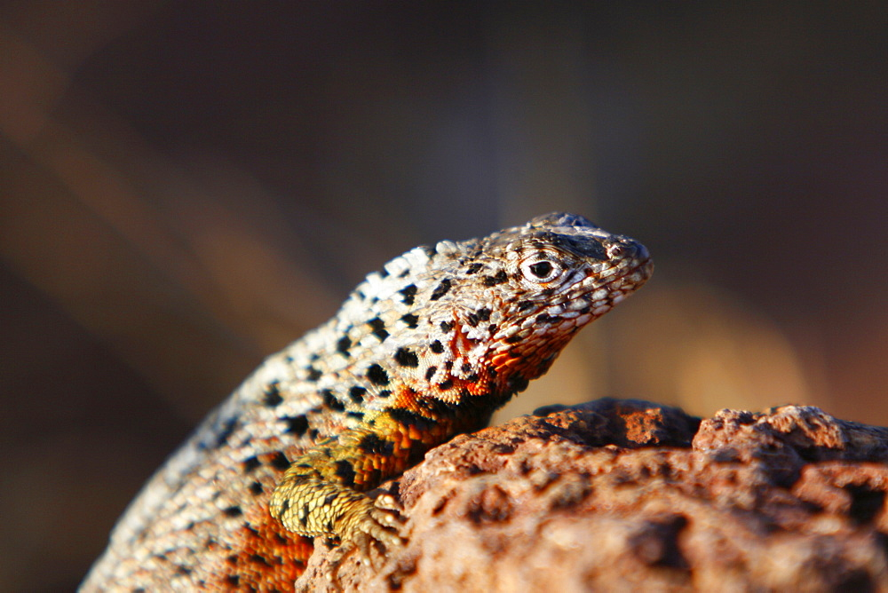 Lava lizard (Microlophus spp) in the Galapagos Island Archipeligo. Many of the islands have their own endemic species.