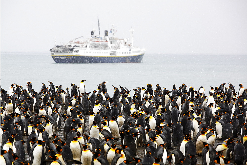 King Penguin (Aptenodytes patagonicus) colony and the m/v Endeavour on South Georgia Island, southern Atlantic Ocean.